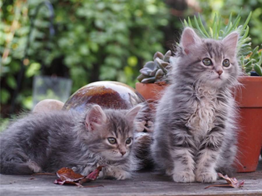 two small grey kittens with stripes